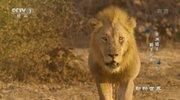 《动物世界》 20210801 非洲猎手·狮王兄弟(下)