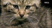 《自然传奇》 20210125 野猫的魅力