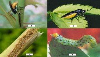 雌虫用产卵器刺破叶组织产卵,及雌雄成虫吸食叶片汁液图片