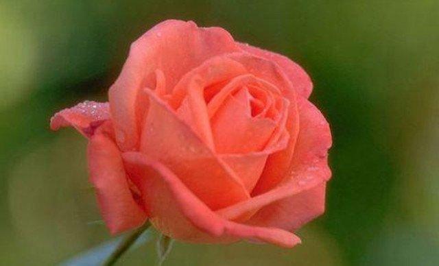 无包装单支玫瑰1次