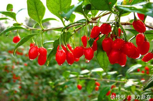 枸杞花绿果红,具有极高的观赏价值,还可作为蔬菜食用,相当美味