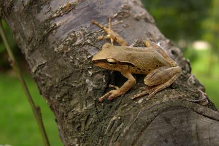 weiningensis)为蛙科蛙属的两栖动物