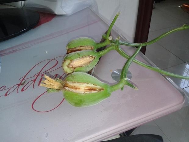 大鹏种植的甜瓜开裂是怎么回事