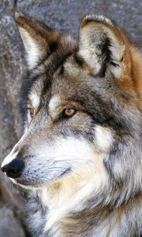 狼动态壁纸1.0安卓客户端下载