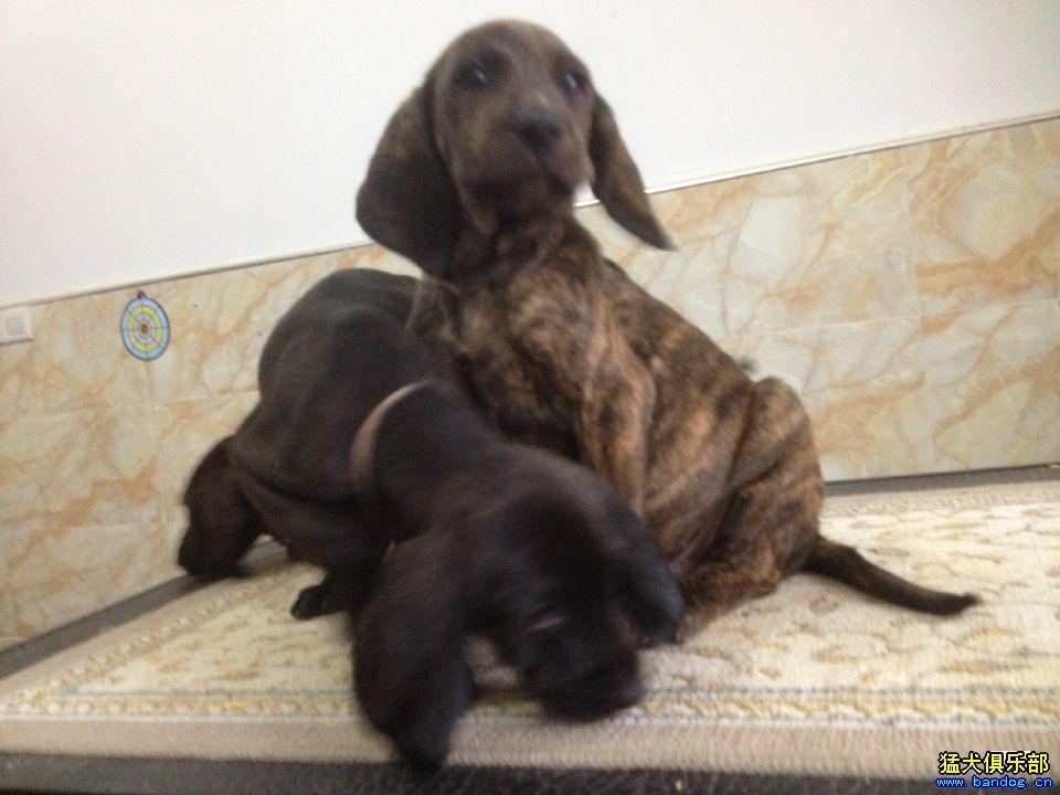 """颜色方面,美国普罗特犬协会给该犬的定义是""""斑纹""""动物,毛皮有黑色或"""