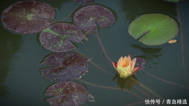美呆了!中山公园开出双色睡莲 花期仅有五六天