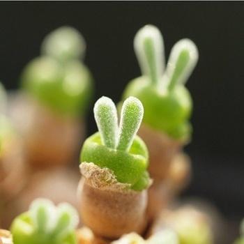 带兔耳朵的多肉植物叫什么