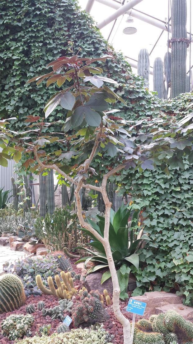 请问这棵红叶子树是什么?