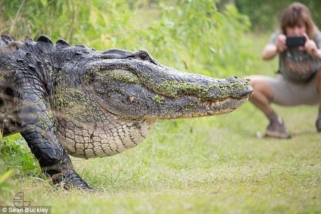 简直就是恐龙!美国现3米长巨型鳄鱼 - 周公乐 - xinhua8848 的博客