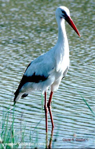 东方白鹳属于大型涉禽,是国家一级保护动物,在中国约有2500