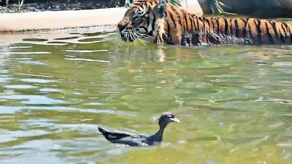 """虎落水池被鸭欺 动物园戏称""""世上最勇敢的鸭子"""""""