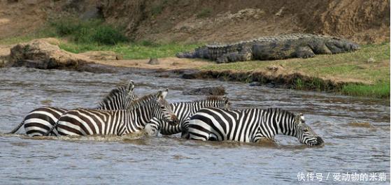 斑马过河惨被鳄鱼攻击,最后却全身而退成功逃回岸上,什么情况?