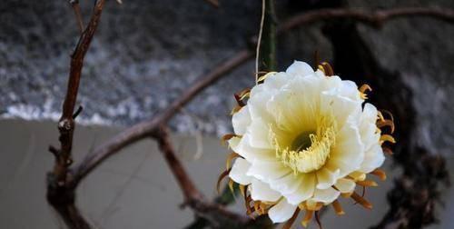 最名贵的花_中国最名贵的花 最贵兰花5000千万图片 最高贵的花 世界上最
