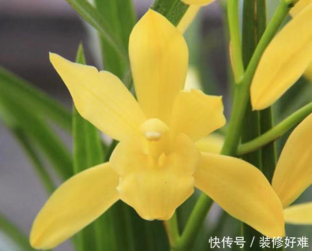 一款入门级的兰花,花色非常博人眼球,花香浓郁悠久,好易养活