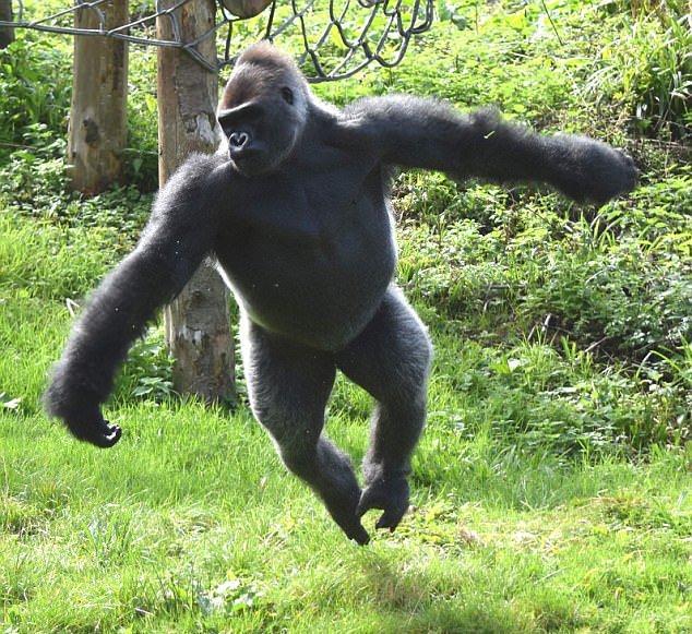 英动物园3只黑猩猩出逃 拔水管扯电线全程秀肌肉
