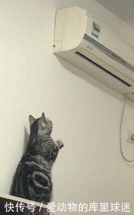 猫咪被冻傻了,对着空调举爪作揖,主人:你拜它没用,得拜我