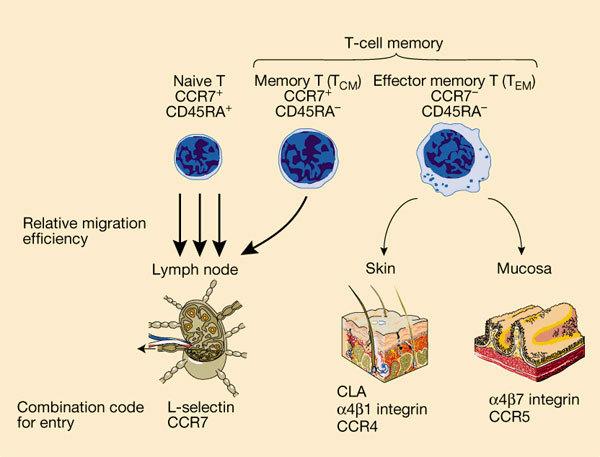 t细胞增殖试验步骤