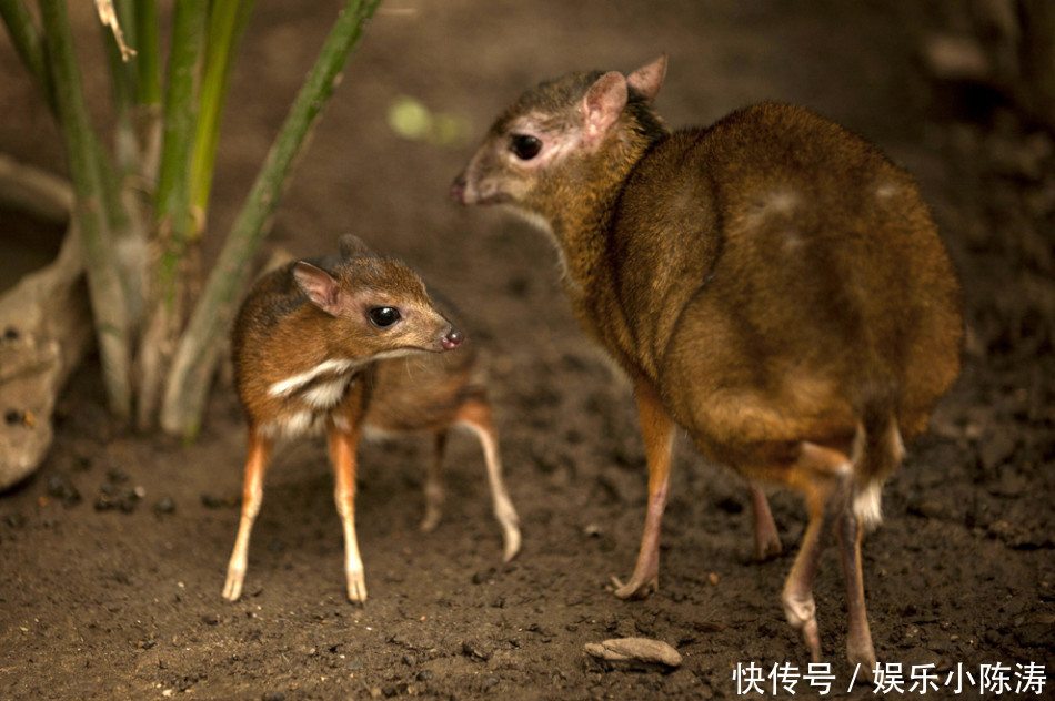 鼷鹿:体形略比野兔大,一旦被迫下水,出水后就会卧地不起