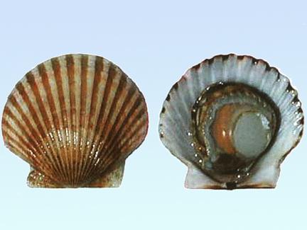 生物学特征 一,形态特征 贝壳扇形,两壳几乎相等,后耳大于前耳,前耳图片