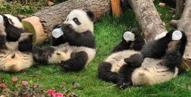 近日,一动物园一群熊猫宝宝排排坐喝奶奶的照片走红网络