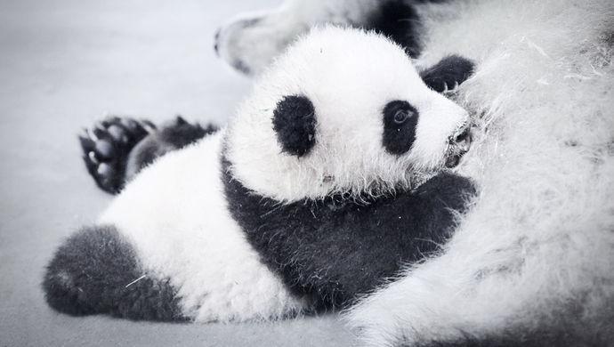 动物园回应质疑 开园来死了六只熊猫 - 梅思特 - 你拥有很多,而我,只有你。。。