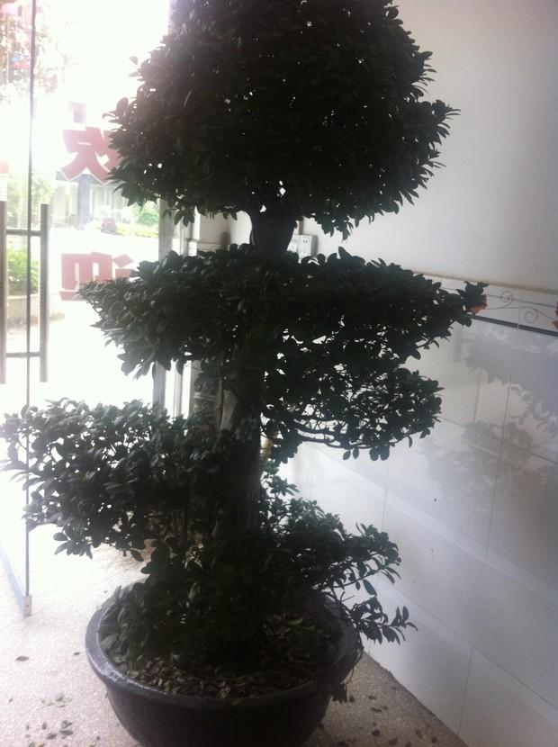 壁纸 盆景 盆栽 树 植物 620_830 竖版 竖屏 手机