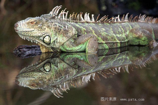 最为广泛饲养作宠物的蜥蜴