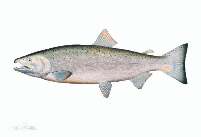 鱼的部位名称大全图解
