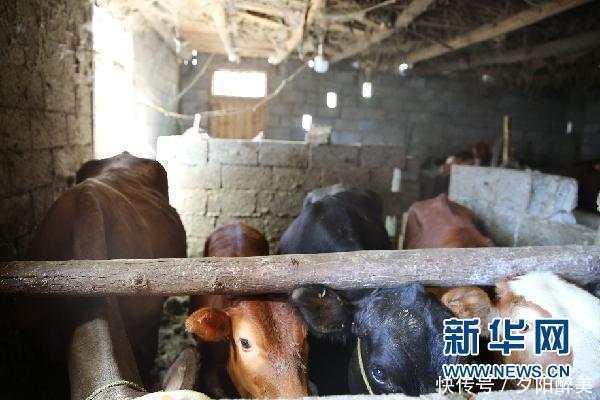 不法分子连续作案偷盗耕牛32头,黔西南公安成功破案