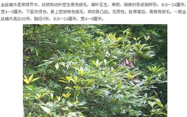 金丝楠木叶子是什么样的