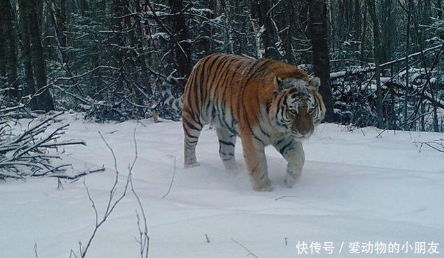 老虎多的地方狼就少,它们呈现负相关趋势,为何豹子不会受此影响