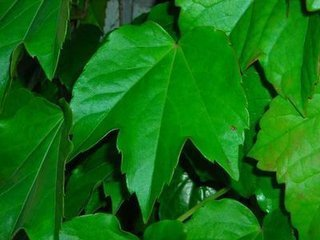 爬山虎的叶子是什么形状的