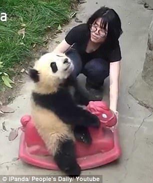 """【转】北京时间      熊猫宝宝骑""""烈马""""驰骋疆场 - 妙康居士 - 妙康居士~晴樵雪读的博客"""