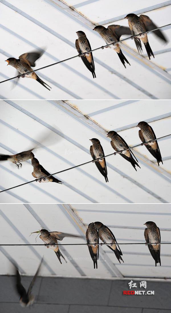 燕子为什么喜欢站在电线杆上而不站在树上