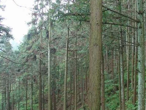 种中文名:灰叶杉木  杉木属