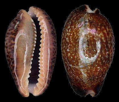 壳背满布青黄色至棕红色花纹,壳缘有黑色斑点,腹面青白色至粉色.