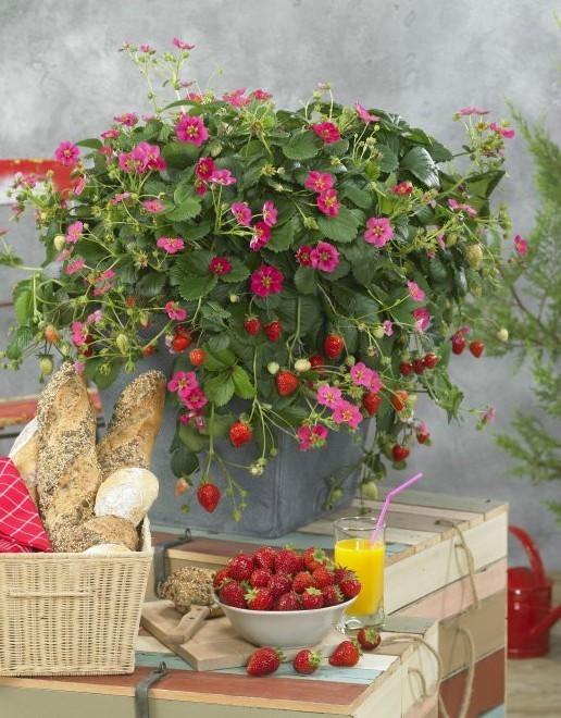 - Fraisier plante en pot ...
