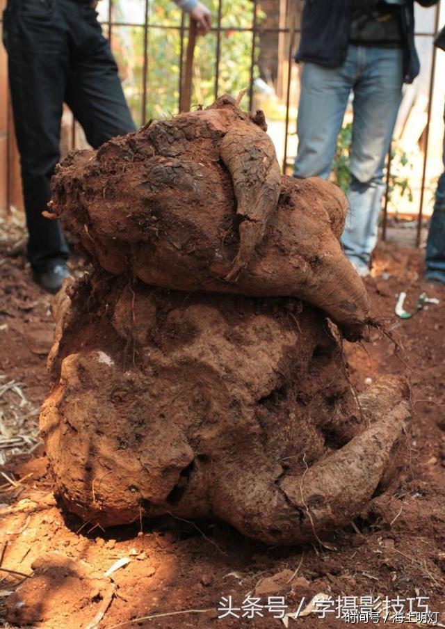 农村大爷祖宅旁挖地基,挖出一个百斤重大疙瘩,有人说是何首乌 -  - 真光 的博客