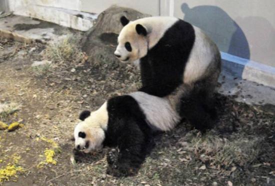 两只大熊猫的性生活,居然带动了一家日本公司股票上涨