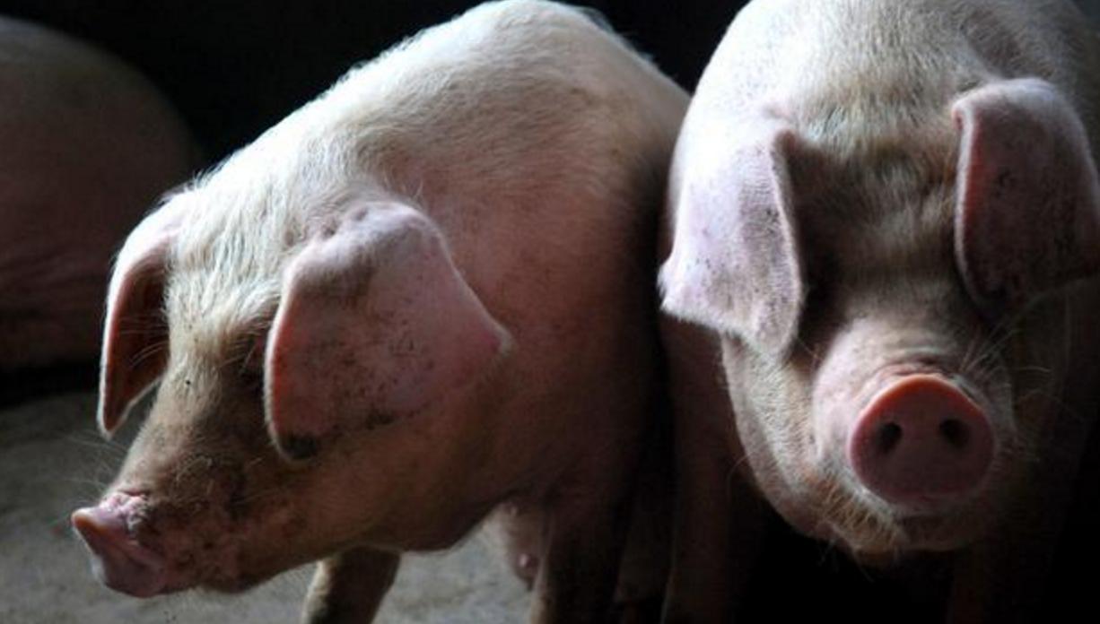 动物 猪 1226_696