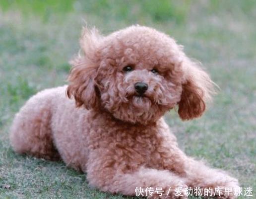 泰迪犯错被教育,主人却被狗子的表情气笑了,狗:略略略