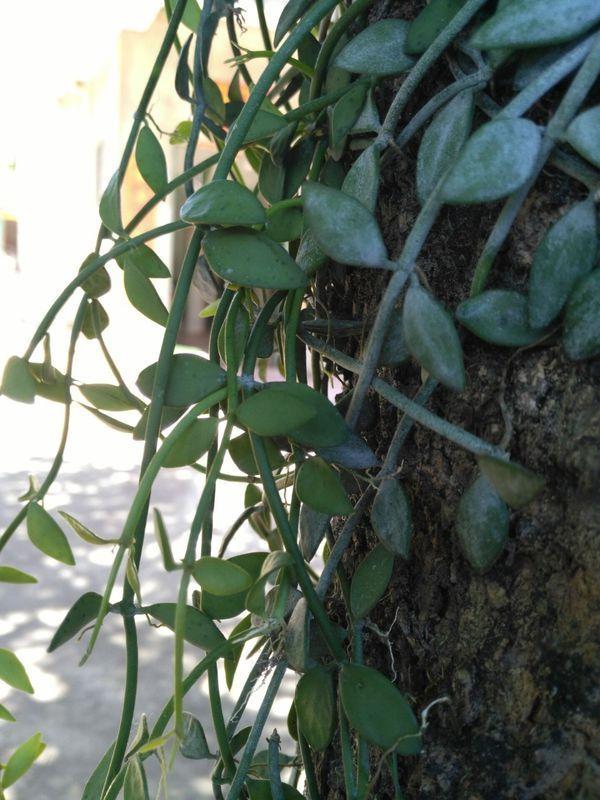 家里的龙眼树上长出这种植物,我查了很多资料也没见有这种寄生的植物