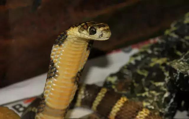 养一条和自己一样高的眼镜王蛇是一种怎样的体验?