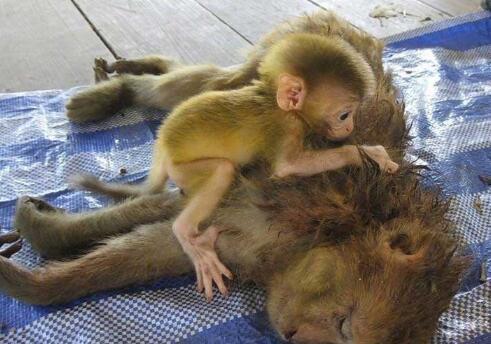 到小猴子还很小图片