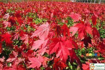 盆栽红枫树种植方法
