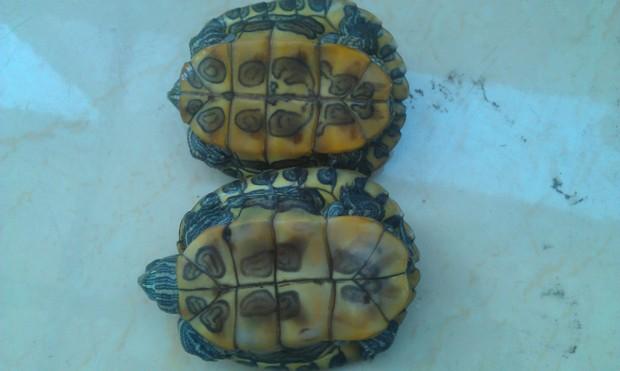 乌龟 怎么/怎么分辨巴西龟公母图片