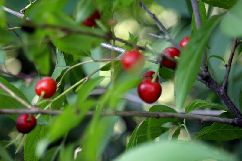 野樱桃:中药木半夏果实的