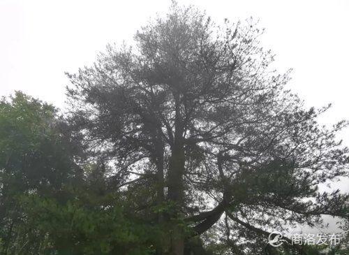 抢救百年古树!山阳林业局冒雨治疗一棵260年树龄油松
