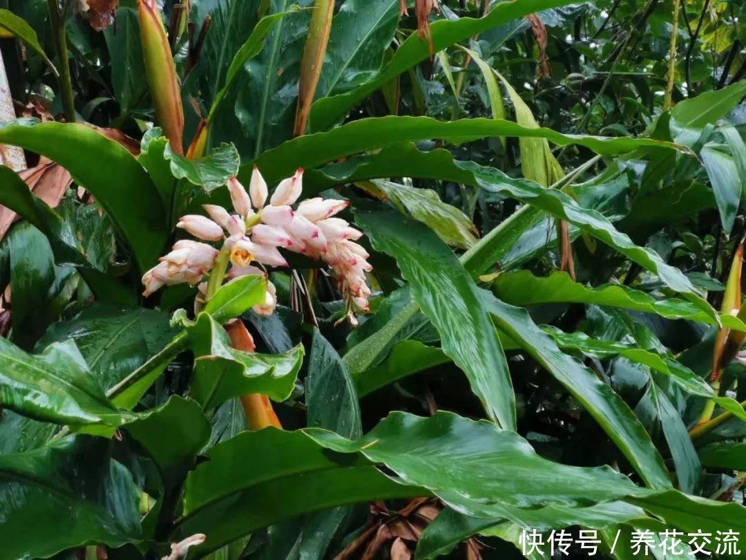 花朵娇艳欲滴的艳山姜,一年可开花两次,雨后的花朵最是好看