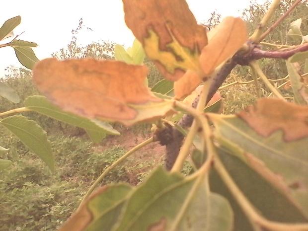 枣树叶子每年出现这种病害是怎么回事